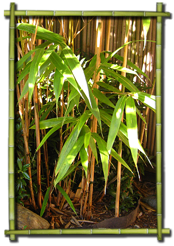 Bamboo Guru Landscaping Design Maintenance